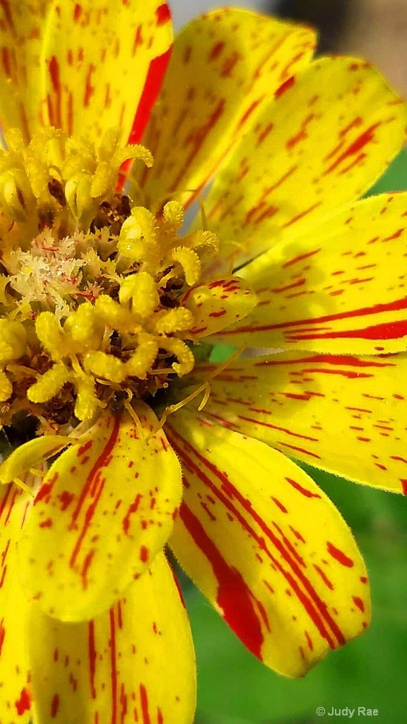Yellow and Red Zinnia